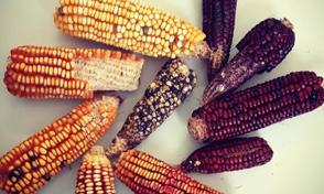 Semillas para la producción agroecológica, sesión virtual de la Huerta Universitaria Tappay Mikuy -CGA
